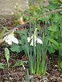 Narcissus moschatus - Flickr - peganum.jpg