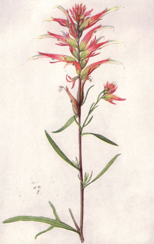 Castilleja linariifolia - An illustration from National Geographic in 1917.