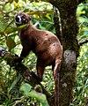 Nasua narica -Costa Rica-8.jpg