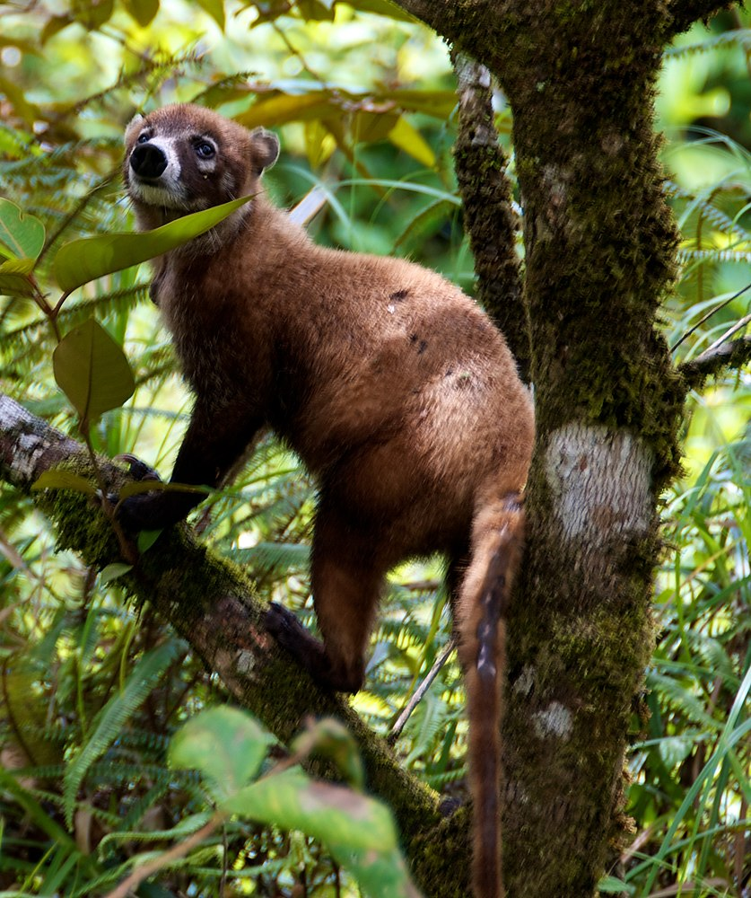 The average litter size of a White-nosed coati is 4