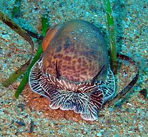 In situ - Live sea snail, species Nataea, photographed in situ