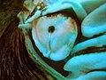 Nautilus pompilius.004 (eye) - Aquarium Finisterrae.JPG