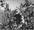 Near Coolidge, Maricopa County, Arizona. Young girl works in cotton field on Saturday morning. Her f . . . - NARA - 522208.tif