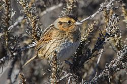 Nelson's Sharp-tailed Sparrow (11216992006).jpg