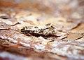 Nematopogon sp (41961996944).jpg