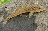NeogobiusFluviatilis