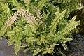 Nephrolepis exaltata Bostoniensis Aureus 1zz.jpg