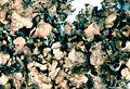 Nephroma bellum-3.jpg