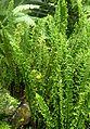 Neprolepis exaltata Fluffy Ruffles kz1.jpg