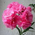Nerium oleander20090705 26.jpg