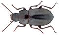 Nesotes nigroaeneus (Kuester, 1850) (16260646211).png