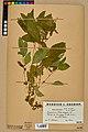 Neuchâtel Herbarium - Impatiens noli-tangere - NEU000019937.jpg