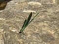 Neurobasis chinensis - Stream Glory male- Aralam Butterfly Survey at Kottiyoor, 2019 (3).jpg
