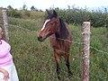 Newfoundland Pony 2.jpg