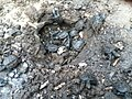 Newly hatched common snapping turtles emerging from the ground.jpg