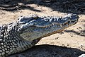 Nile Crocodile - 2813551088.jpg
