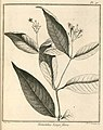 Nonatelia longiflora Aublet 1775 pl 71.jpg