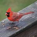 Northern Cardinal (5210391848).jpg