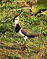 Northern Lapwing Vanellus vanellus Deepor Beel by Dr. Raju Kasambe DSCN8385 (14).jpg