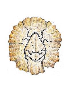 <i>Notochthamalus</i> genus of crustaceans