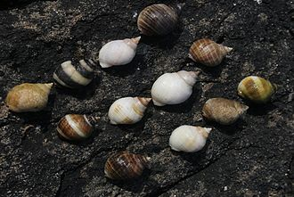 Dog whelk - Colour variability of shells of Nucella lapillus.