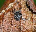 Nuctenea umbratica (Walnut Orb-Weaver Spider) - Flickr - S. Rae.jpg