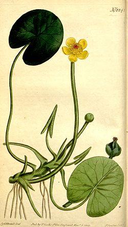 Nuphar microphylla Bot. Mag. 31. 1243. 1809.jpg