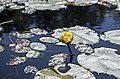 Nuphar variegata (20446859601).jpg