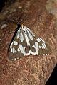 Nyctemera adversata (Erebidae- Arctiinae- Arctiini) (22511230709).jpg