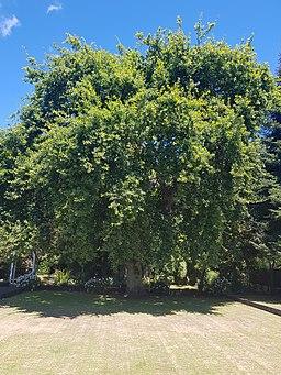 Oak Tree at 176 Nile Street, Nelson