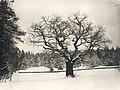 Oak at Djurgården, Stockholm, Sweden (5279802925) (2).jpg
