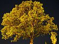 Oak at Quatama Elemetary at night altered - Hillsboro, Oregon.JPG