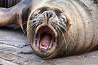 Oceanografic Sea Lion Mouth 01.jpg