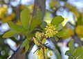Ochna pulchra, loof en blomme, a, Jan Celliers Park.jpg