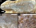 Oenosaurus muehlheimensis.png