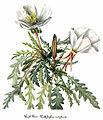 Oenothera caespitosa, by Mary Vaux Walcott.jpg
