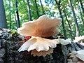 Ohrförmiger Seitling (Pleurocybella Porrigens) im Naturpark Habichtswald nahe der Rasenallee.jpg