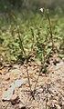 Oldenlandia subulata.jpg