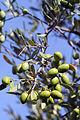 Olives (PICHOLINE) CL. J Weber (3) (23158695102).jpg