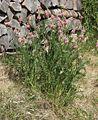 Onobrychis viciifolia 060507.jpg