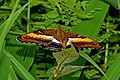 Open wing position of Parasarpa zayla Doubleday, 1848 – Bicolor Commodore WLB DSC 0606.jpg