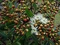 Opening flowers of Plunkett Mallee (6918198630).jpg