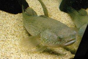 Gudgeon (fish) - Mud gudgeon, Ophieleotris aporos