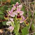 Ophrys tenthredinifera1.JPG