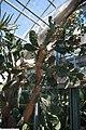 Opuntia engelmannii lindheimeri 3zz.jpg
