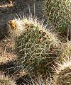 Opuntia polyacantha var. erinacea 2.jpg