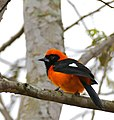 Orange-backed Troupial (Icterus croconotus) (28662774634).jpg