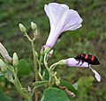 Orange Blister Beetle (Mylabris pustulata) on Ipomoea carnea W IMG 0594.jpg