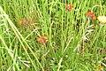 Orange hawkweed (NH) (29695483610).jpg