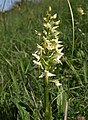 Orchid, Morgan's Hill - geograph.org.uk - 1345704.jpg